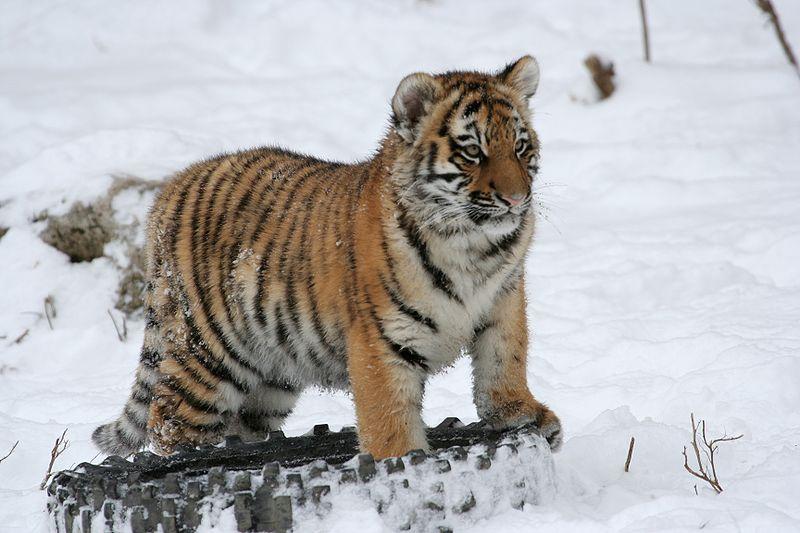 Животные красной книги тигр