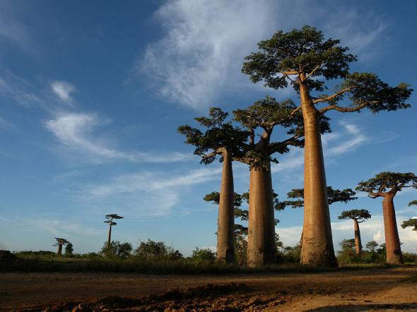 Мадагаскар, баобаб