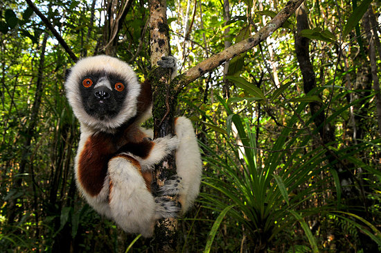 Животные острова Мадагаскар, сифака