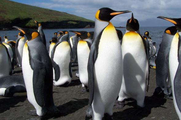 Королевские пингвины
