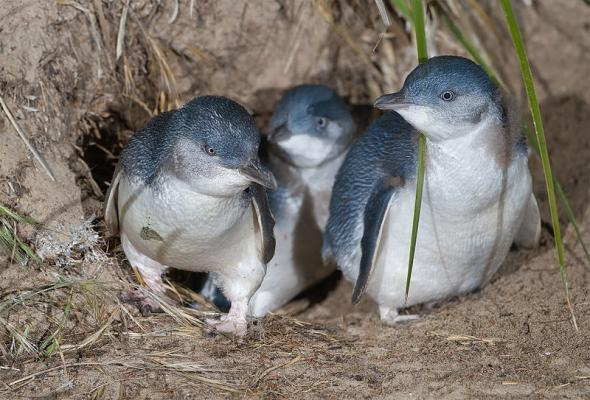 Пингвины-эльфы