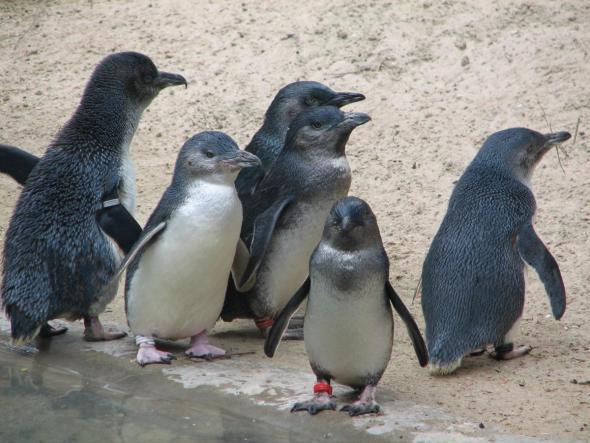 Самые маленькие пингвины