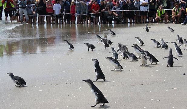 Голубые пингвины-эльфы на пляже