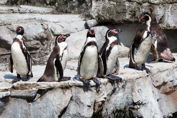 Пингвины Гумбольдта на скалах