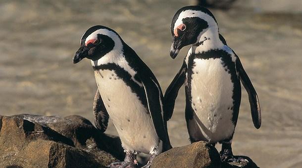 Африканские ослиные пингвины